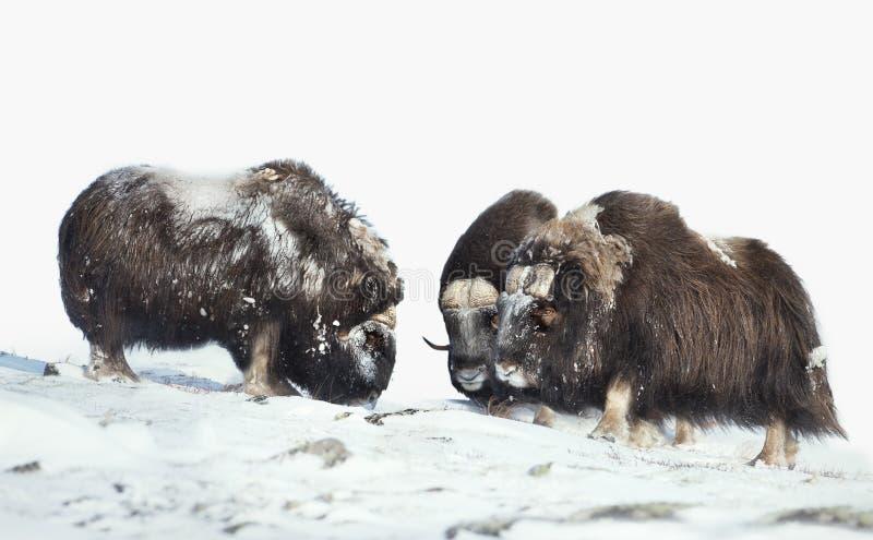 Мужские волы мускуса в горах в зиме стоковая фотография