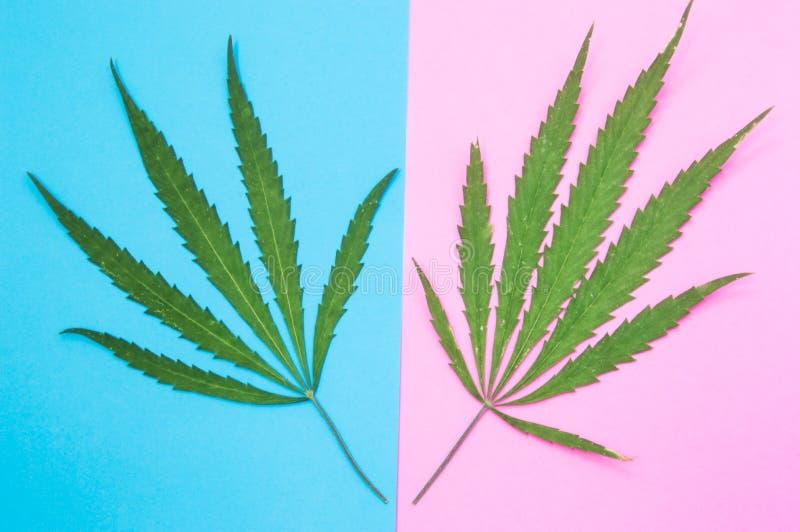 Мужские и женские конопля или марихуана 2 зеленых конопли листают ложь на других цветах - мужские лист на голубой предпосылке, же стоковое фото