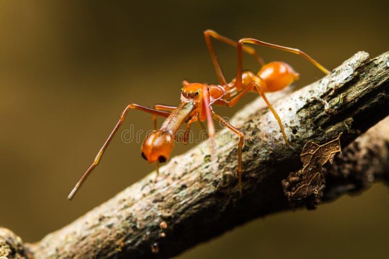 Мужские plataleoides Myrmarachne скача паук стоковое фото rf