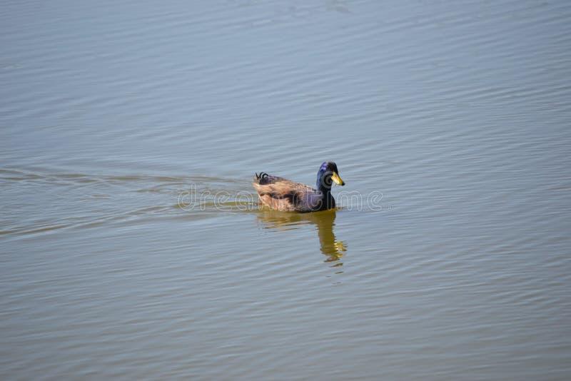 Мужское заплывание утки кряквы на озере стоковое изображение rf