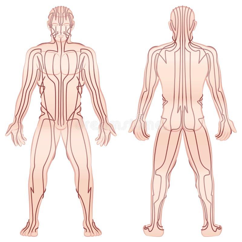 Мужское тело TCM меридианов иллюстрация штока