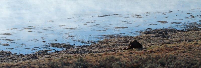 Мужское убийство лося еды хряка гризли в свете утра рядом с Рекой Йеллоустоун в национальном парке Йеллоустон в Вайоминге США стоковая фотография