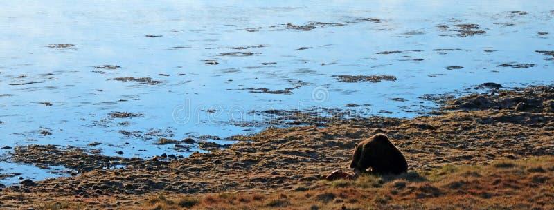 Мужское убийство лося еды хряка гризли в свете утра рядом с Рекой Йеллоустоун в национальном парке Йеллоустон в Вайоминге США стоковое фото rf