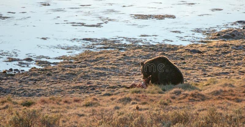 Мужское убийство лося еды хряка гризли в свете утра рядом с Рекой Йеллоустоун в национальном парке Йеллоустон в Вайоминге США стоковые фотографии rf