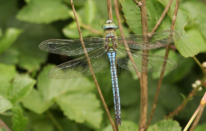 Мужское imperator Anax Dragonfly императора садилось на насест на заводе стоковое изображение rf