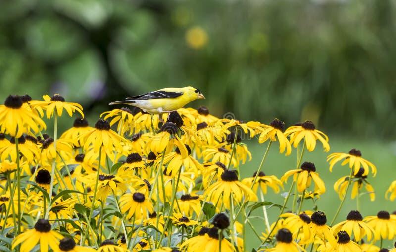 Мужской американский Goldfinch на Rudbeckia стоковое фото rf