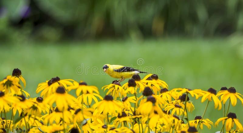 Мужской американский Goldfinch на Rudbeckia стоковое изображение rf