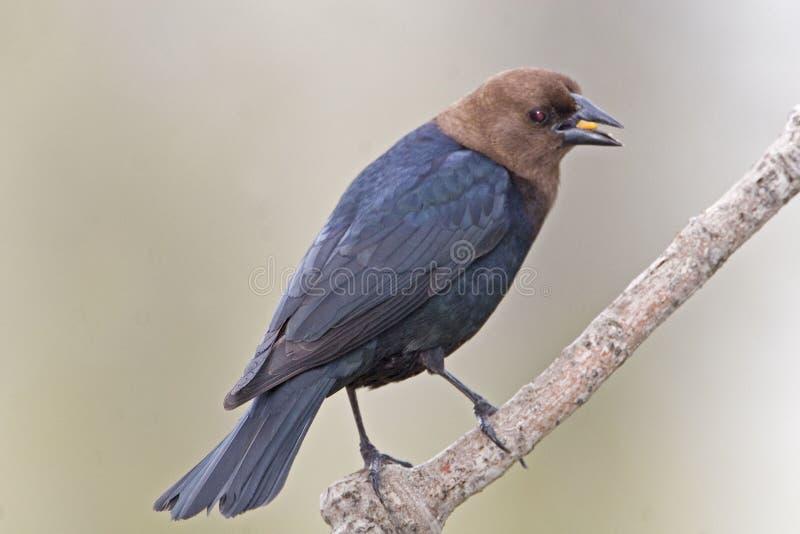 Мужской Брайн-головый Cowbird, ater Molothrus, есть стоковая фотография rf