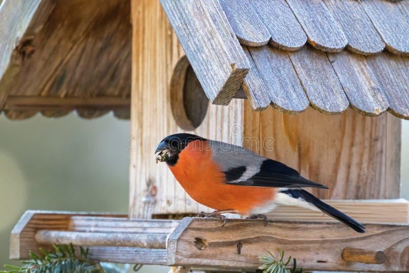 Мужской евроазиатский общий Bullfinch с клювом полным семени гайки дальше сватает стоковые изображения rf
