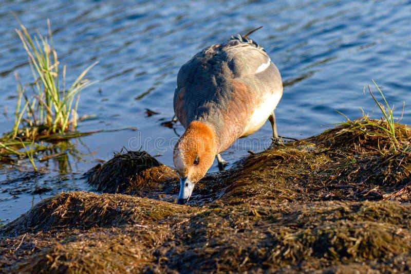 Мужской евроазиатский wigeon в окружающей среде стоковые изображения rf