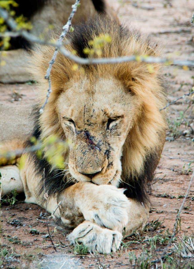 Мужской лев лижа его раны стоковые изображения rf