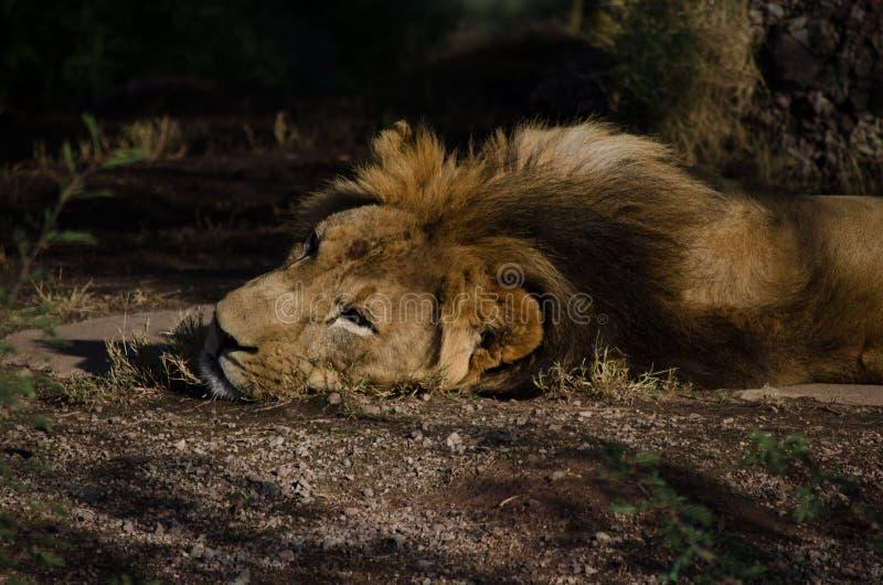 Мужской лев кладя на том основании стоковые фотографии rf