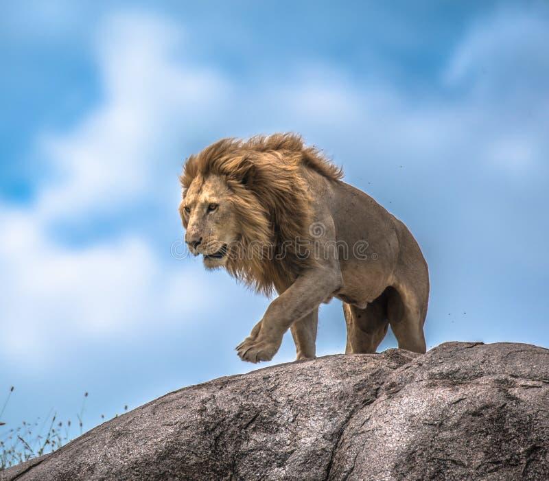 Мужской лев на скалистом выходе на поверхность, Serengeti, Танзании, Африке стоковые изображения rf