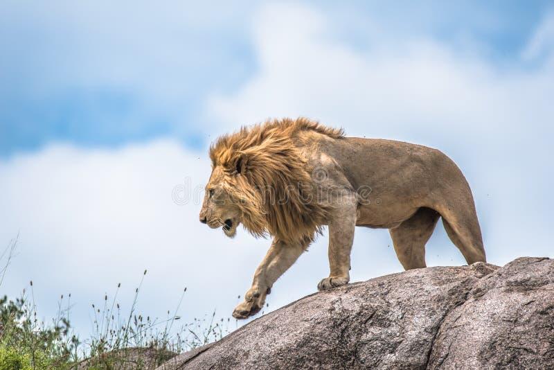Мужской лев на скалистом выходе на поверхность, Serengeti, Танзании, Африке стоковая фотография rf