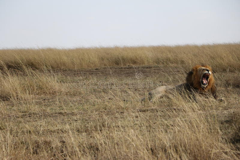 Мужской лев ревя в maasai mara стоковая фотография rf