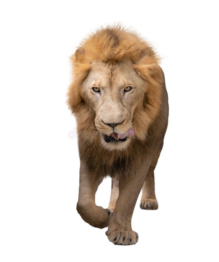 Мужской идти льва изолированный на белой предпосылке стоковая фотография rf
