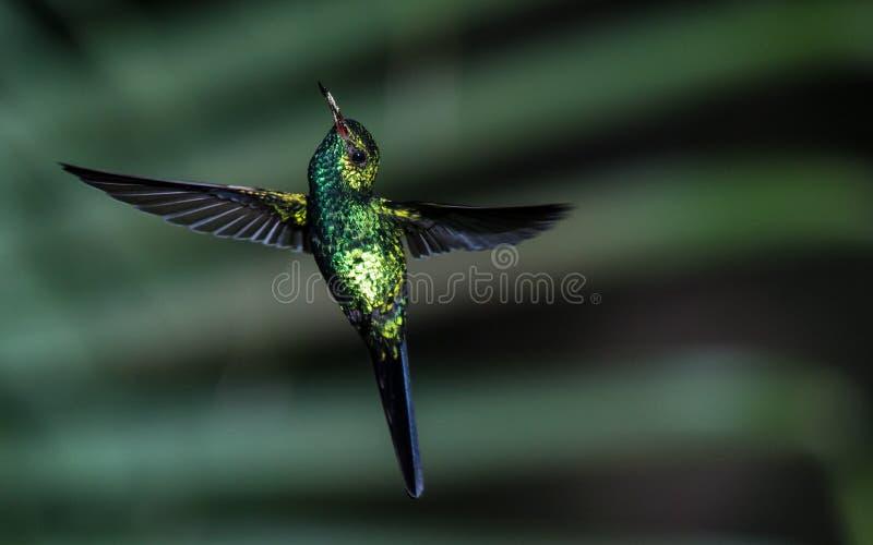 Мужской изумрудный колибри стоковое изображение rf