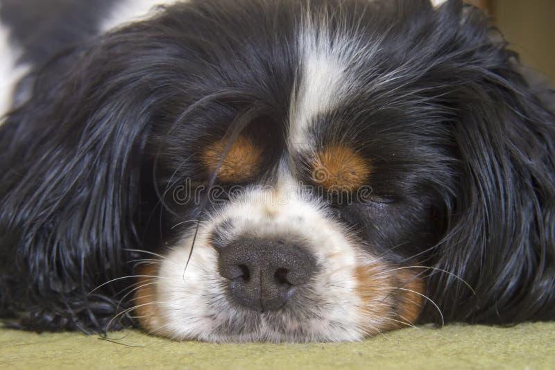 Мужской кавалерийский спать собаки Spaniel короля Чарльза стоковое изображение rf