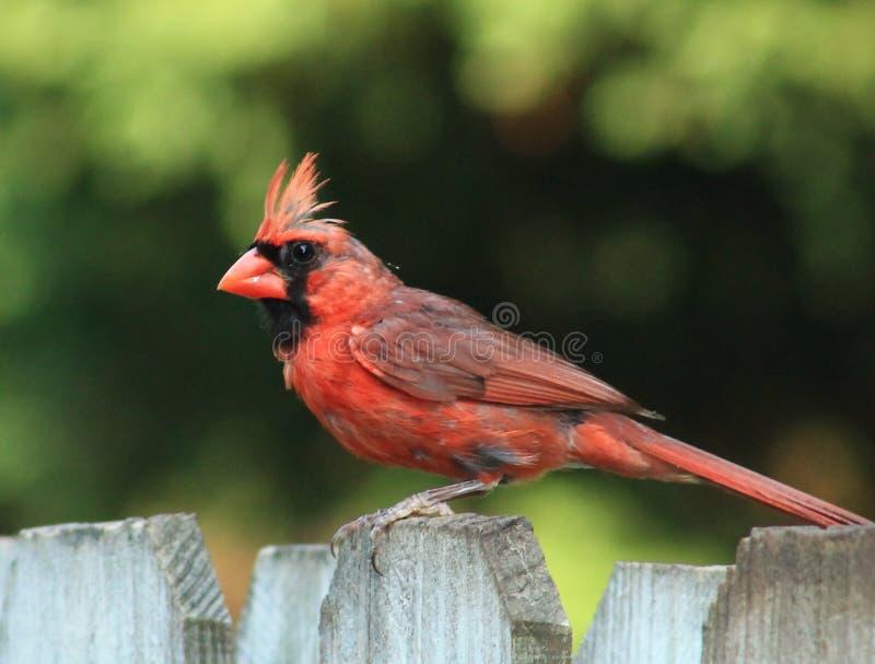 Мужской кардинал перелиняет на загородке стоковая фотография