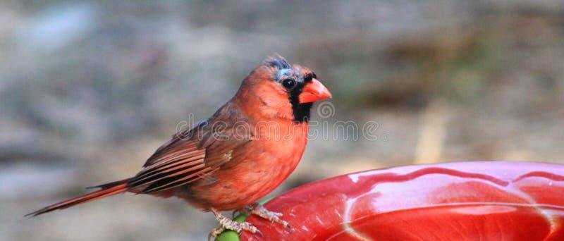 Мужской кардинальный боец стоковое фото rf