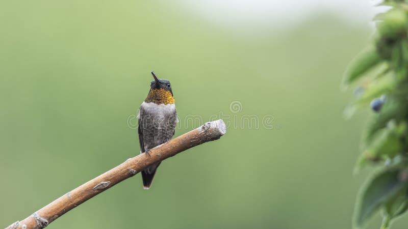 Мужской колибри с крошечным насекомым в его клюве стоковые фотографии rf
