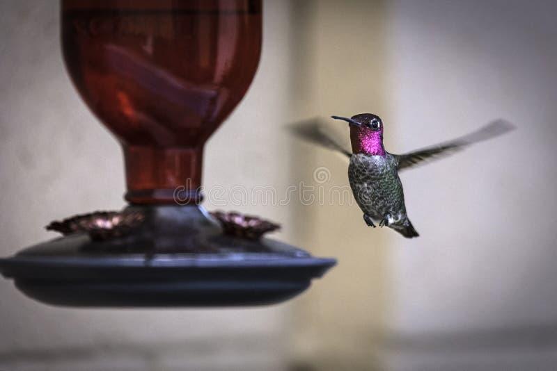 Мужской колибри ` s Анны сфотографировал на фидере стоковые фотографии rf