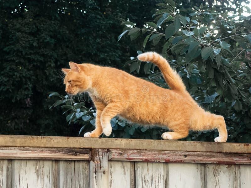Мужской кот на загородке стоковые фотографии rf