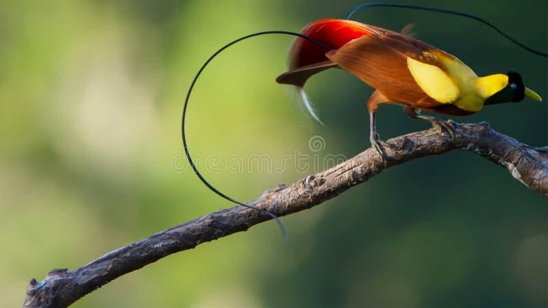 Мужской красный дисплей райской птицы в treetops Состязаться для того чтобы привлечь женщину путем танцевать стоковые изображения rf