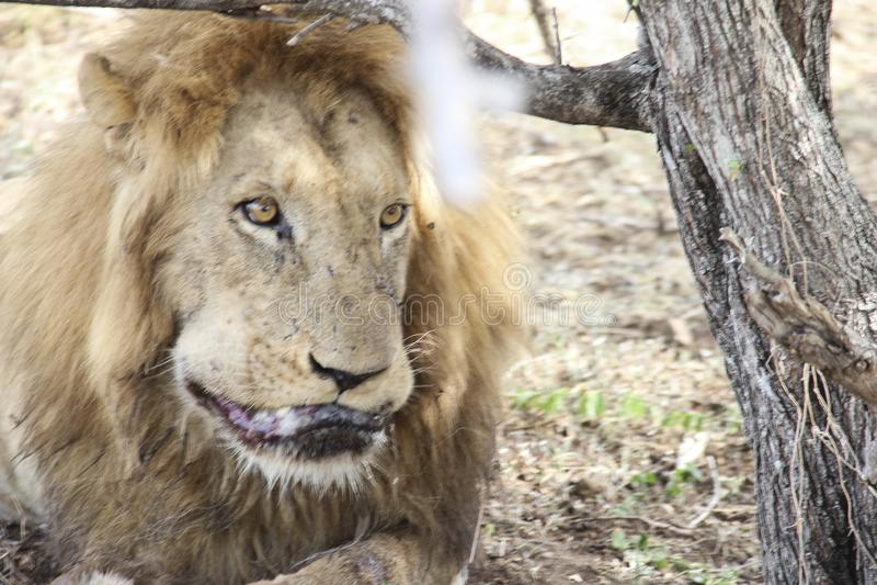 Мужской крупный план льва лижа его раны, национальный парк Южную Африку Kruger стоковое фото