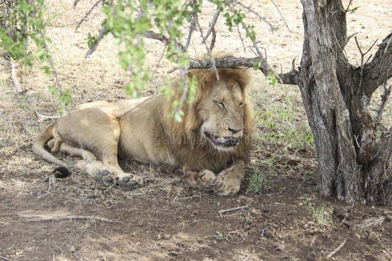 Мужской крупный план льва лижа его раны, национальный парк Южную Африку Kruger стоковые изображения rf