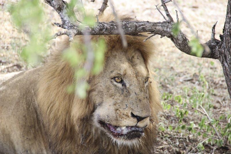 Мужской крупный план льва лижа его раны, национальный парк Южную Африку Kruger стоковые изображения