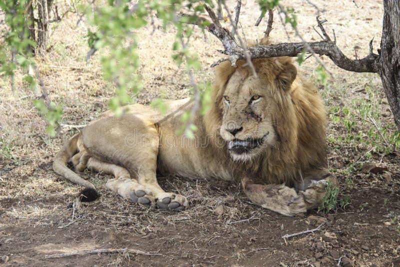 Мужской крупный план льва лижа его раны, национальный парк Южную Африку Kruger стоковое фото rf