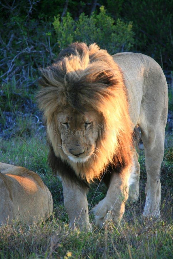 Мужской лев идя на зеленую траву с пурпурными цветками в Южной Африке стоковое изображение rf