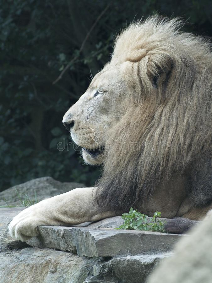 Мужской лев лежа на утесе стоковые фото
