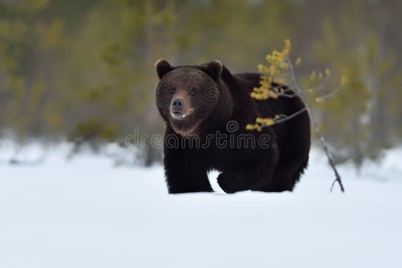 Мужской медведь причаливая на снеге стоковое фото