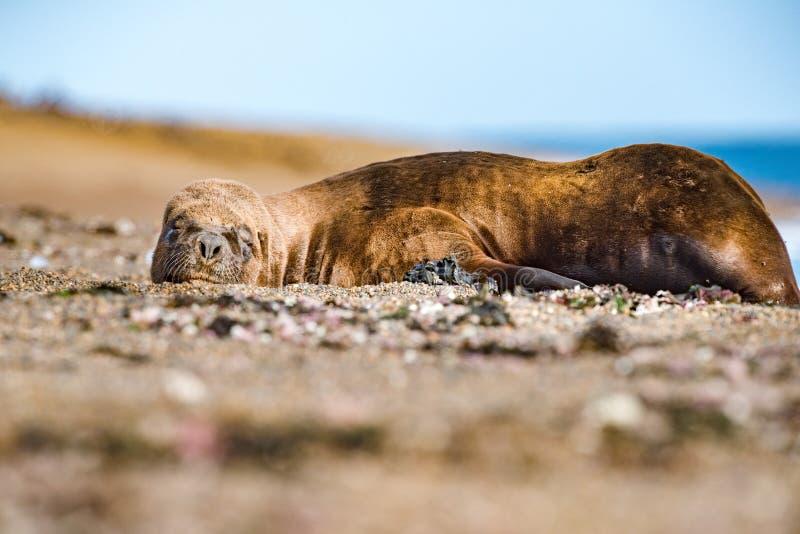 Мужской морсой лев ослабляя на пляже стоковое фото