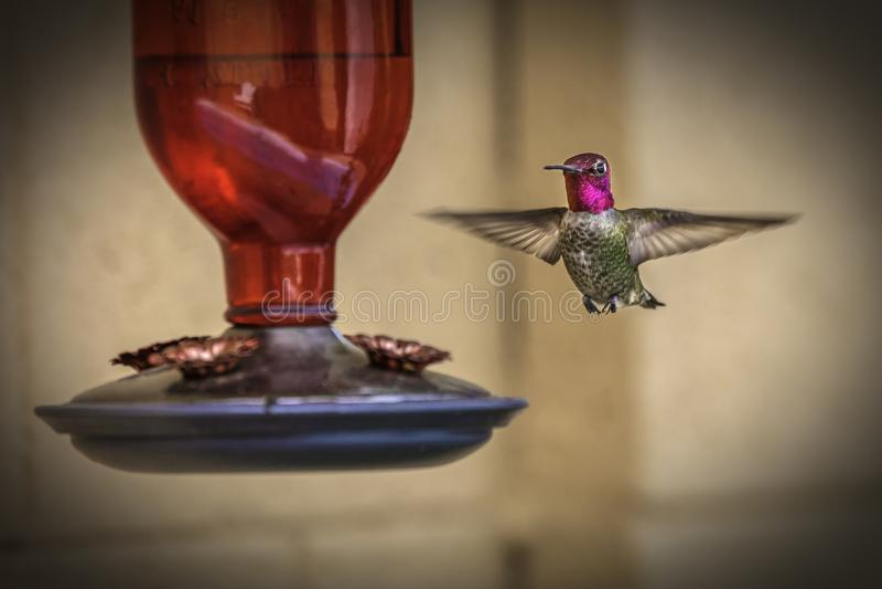 Мужской обширный замкнутый колибри сфотографированный на фидере стоковое изображение rf