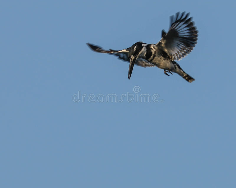 Мужской пестрый Kingfisher на крыле ища еда стоковое фото