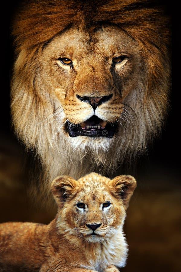 Мужской портрет льва и кубика на фоне саванны стоковое изображение rf