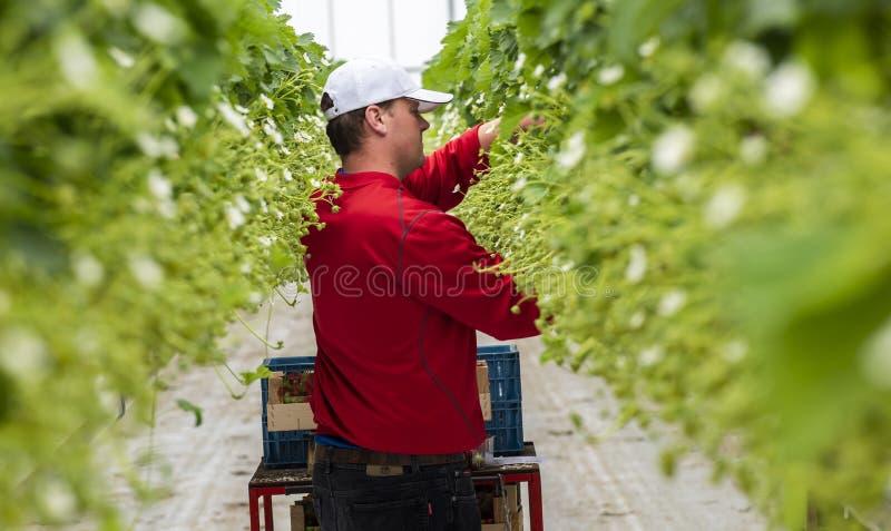 Мужской работник на парнике клубники стоковые фотографии rf