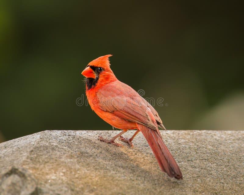 Мужской северный кардинал представляет для камеры стоковые фото