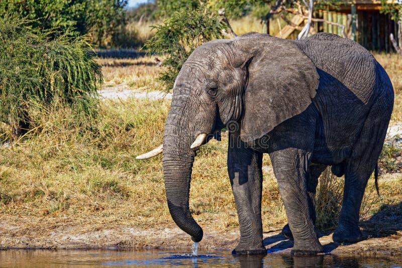 Мужской слон выпивая на waterhole стоковые фотографии rf