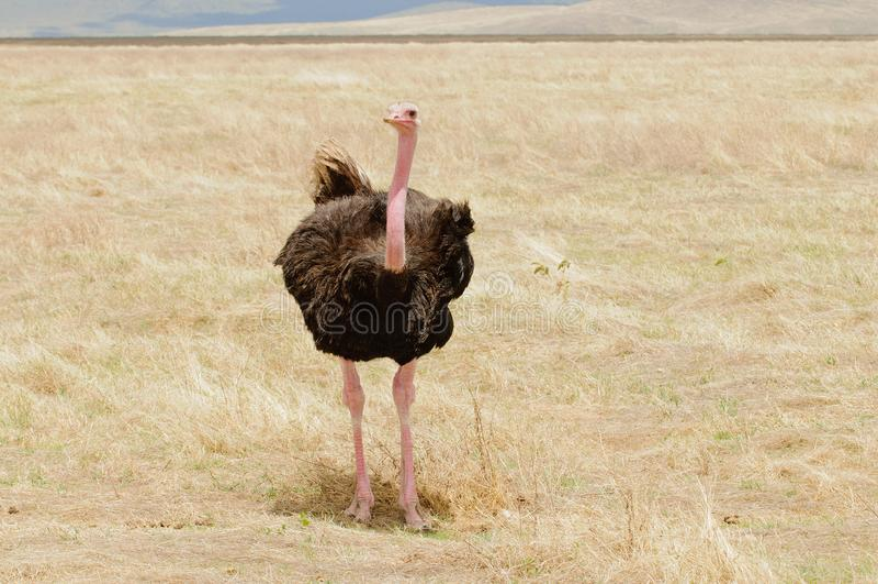 Мужской страус в Ngorongoro стоковая фотография rf