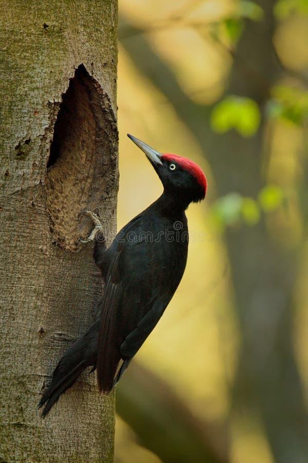 Мужской черный Woodpecker стоковые изображения rf