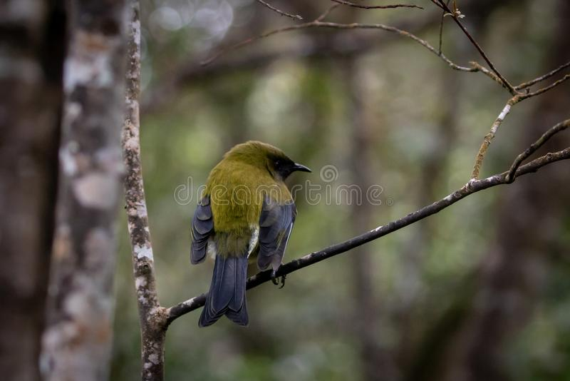Мужской Bellbird, Новая Зеландия стоковые фото