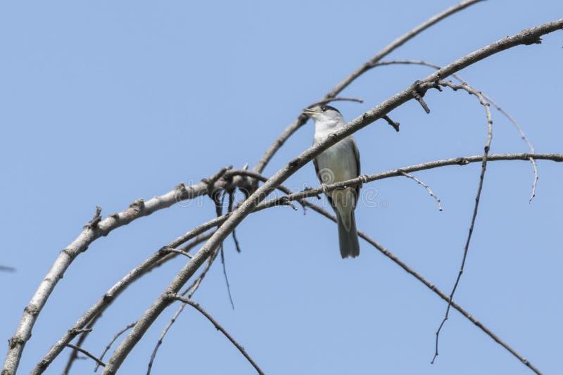 Мужской blackcap на дереве стоковое фото rf