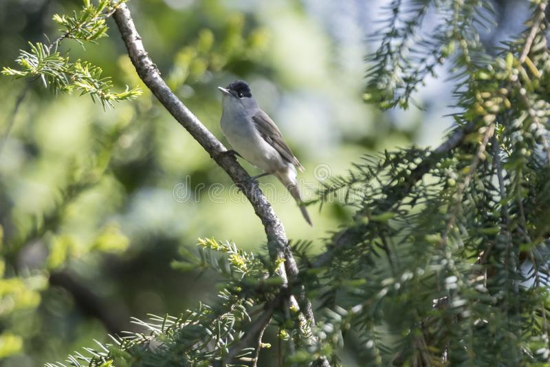 Мужской blackcap на дереве стоковое фото