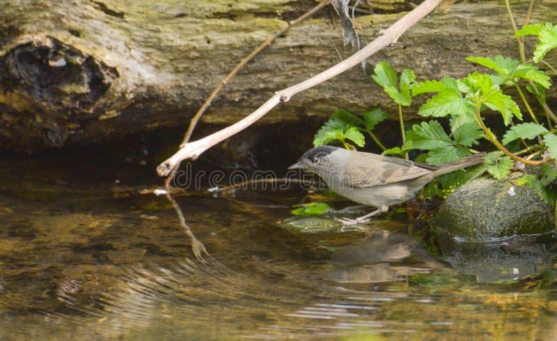 Мужской blackcap смотря в речной воде стоковые фотографии rf
