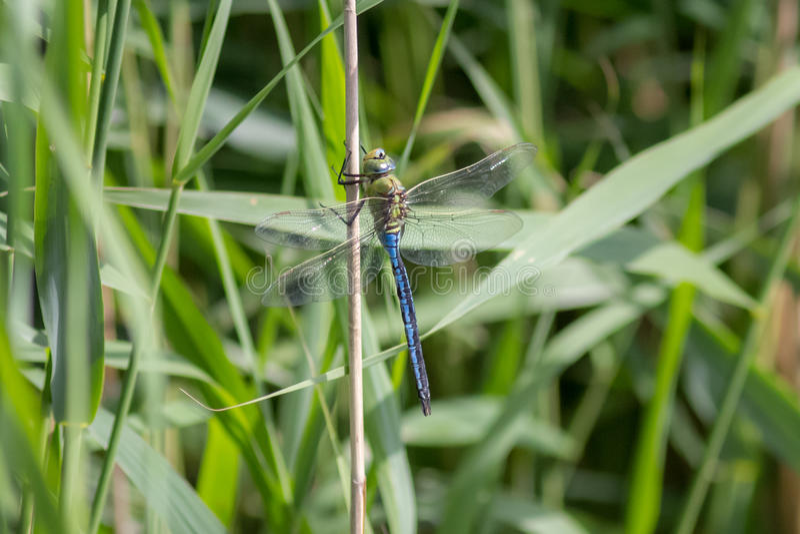 Мужской Dragonfly императора (imperator Anax) стоковое фото rf