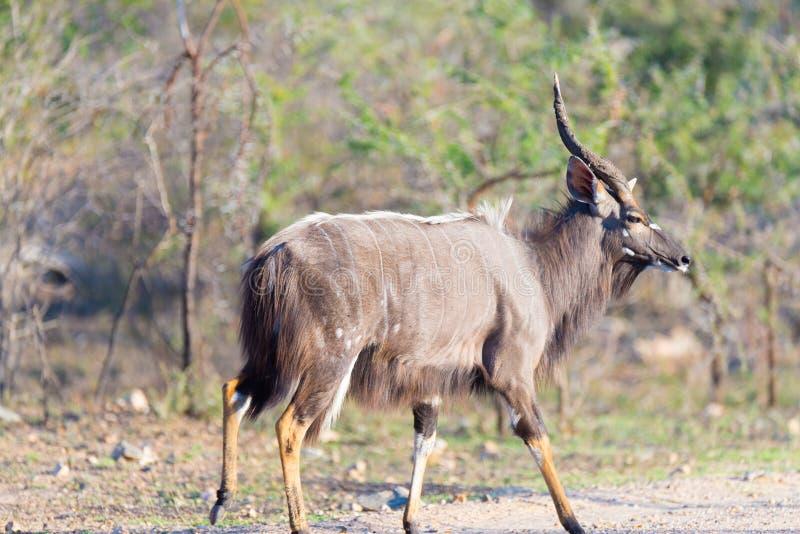 Мужской Nyala идя в куст Сафари в национальном парке Kruger, главное назначение живой природы перемещения в Южной Африке Взгляд с стоковая фотография